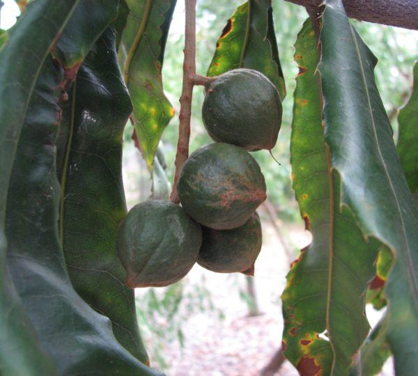Macadamia tetraphylla