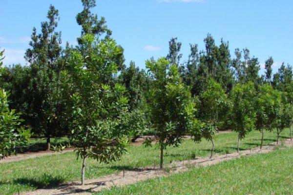 Молодые деревья макадамии
