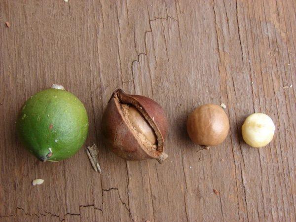 Плод макадамии в разных стадиях