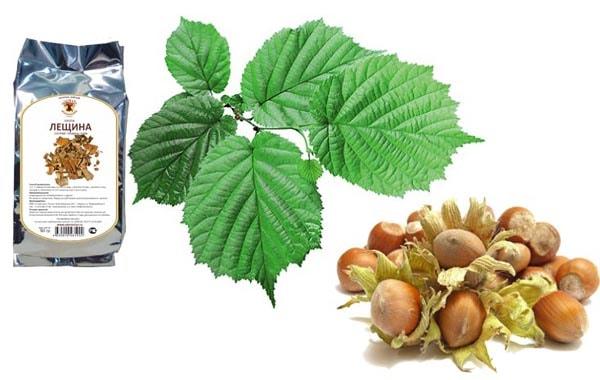 Полезные свойства лещины: состав, применение, рецепты из коры, листьев, почек