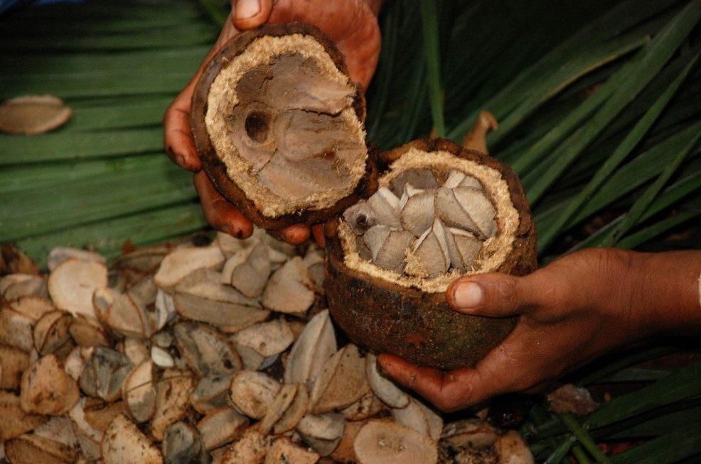 Как растет бразильский орех фото