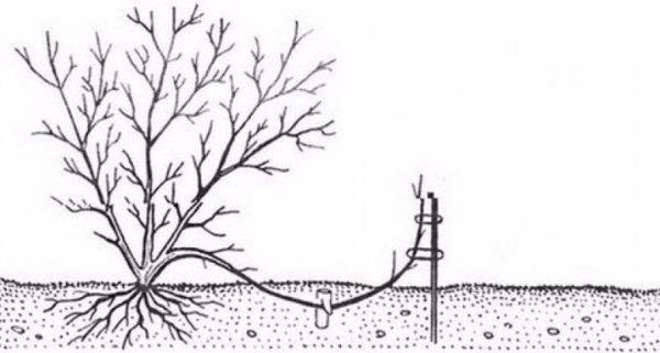 Размер лесного ореха