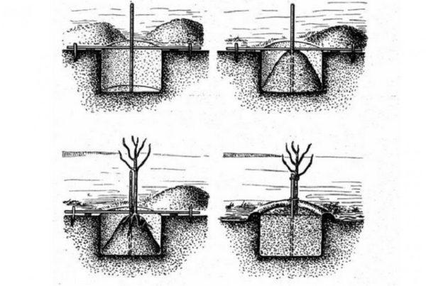 Схема посадки растения