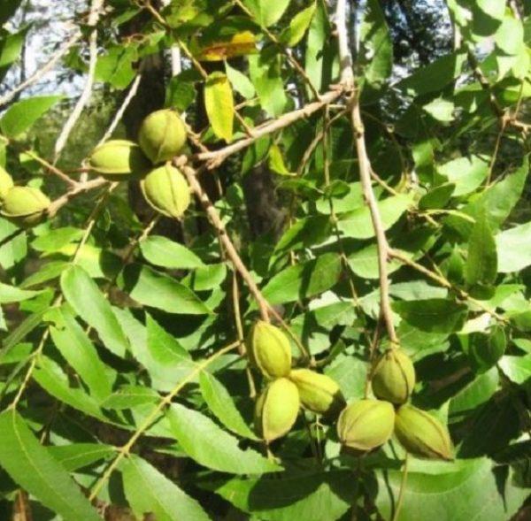 Как называются орехи похожие на грецкие