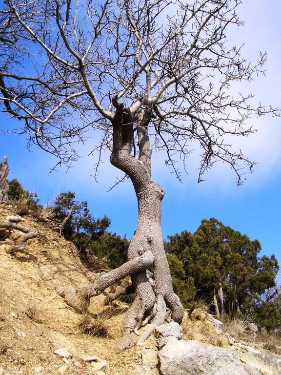 Фисташковое дерево дома