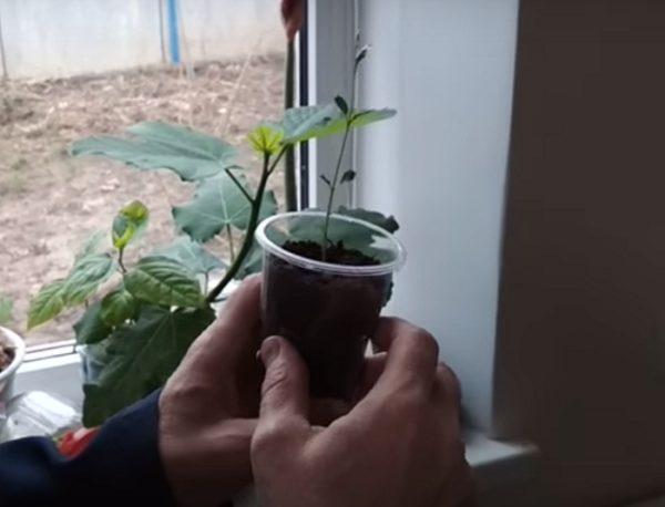 Проращивание фисташкового ореха