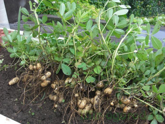 Вот так растет арахис