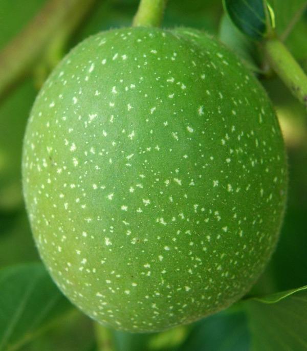 Грецкий орех смоки