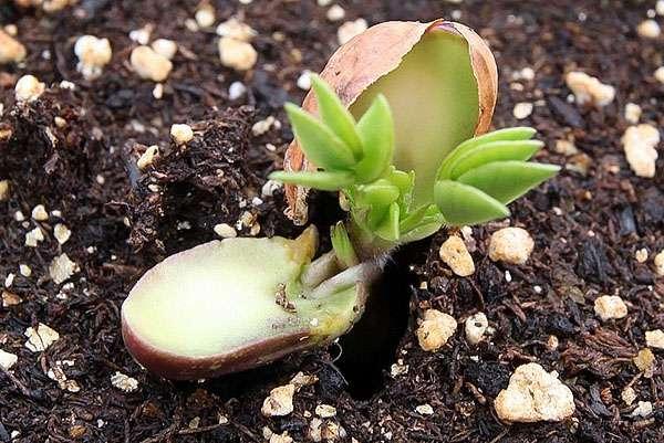 Проросшее семя